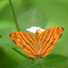 Common Maplet - Photo (c) Susan Myers, all rights reserved