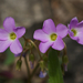 Violet Woodsorrel - Photo (c) Eric in SF, all rights reserved, uploaded by Eric Hunt
