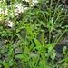 Ranunculus pusillus - Photo (c) Eric Hunt, todos los derechos reservados
