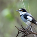 White-tailed Shrike - Photo (c) Rogério Ferreira, all rights reserved