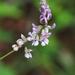 Orbexilum pedunculatum va - Photo (c) Eric in SF, todos os direitos reservados, uploaded by Eric Hunt