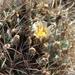 Scheer's Fishhook Cactus - Photo (c) Lex García, all rights reserved