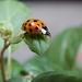 Asian Lady Beetle - Photo (c) Amaury Martinez, all rights reserved