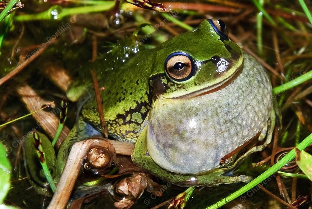 Dendropsophus molitor - Photo (c) gchavesp, todos los derechos reservados, uploaded by Giovanni Chaves-Portilla