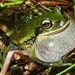 Green Dotted Tree Frog - Photo (c) gchavesp, all rights reserved, uploaded by Giovanni Chaves-Portilla