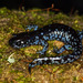 Blue-spotted Salamander - Photo (c) jplarry, all rights reserved, uploaded by J.P. Lawrence