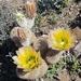 Hedgehog Cacti - Photo (c) Alejandra Salinas, all rights reserved