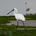 Black-faced Spoonbill - Photo (c) WK Cheng, all rights reserved
