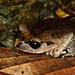 Lowland Litter Frog - Photo (c) jplarry, all rights reserved, uploaded by J.P. Lawrence