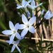 Fringed Bluestar - Photo (c) Laura Grimes, all rights reserved