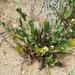 Plagiobothrys arizonicus - Photo (c) BJ Stacey, todos los derechos reservados