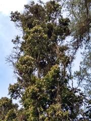 Myrcianthes leucoxyla image