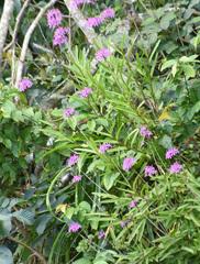 Epidendrum flexuosum image