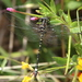 Small Tigertail - Photo (c) richardyank, all rights reserved