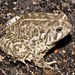 Woodhouse's Toad - Photo (c) prairieherper, all rights reserved, uploaded by prairieherper