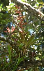Tillandsia leiboldiana image