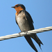 Pacific Swallow - Photo (c) Paul, all rights reserved, uploaded by creaturesnapper