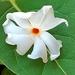Nyctanthes arbor-tristis - Photo (c) Munazza Mirkar, όλα τα δικαιώματα διατηρούνται