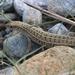 Eslizón Rayado de Hierba - Photo (c) Rabin Suwal, todos los derechos reservados
