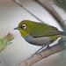 Zosterops maderaspatanus - Photo (c) Nigel Voaden, todos os direitos reservados