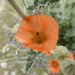 Sphaeralcea ambigua - Photo (c) Jim Roberts, כל הזכויות שמורות