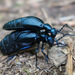 Short-winged Blister Beetle - Photo (c) Tig, all rights reserved