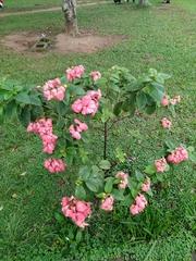 Mussaenda philippica image
