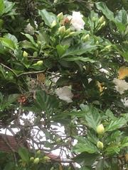 Gardenia jasminoides image