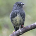 North Island Robin - Photo (c) surfap, all rights reserved