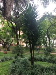 Image of Yucca aloifolia