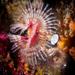 Serpula columbiana - Photo (c) Patrick Webster, todos los derechos reservados