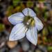 Wahlenbergia albomarginata - Photo (c) Danilo Hegg, todos los derechos reservados
