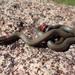 San Bernardino Ringneck Snake - Photo (c) Chris DeGroof, all rights reserved
