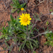 Tetraneuris linearifolia - Photo (c) Rowdy White, todos los derechos reservados