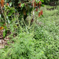 Ambrosia peruviana image