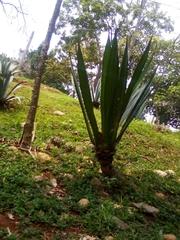 Image of Agave fourcroydes