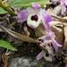 Dendrobium nobile - Photo (c) karmasangay, todos los derechos reservados