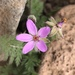 Common Stork's-Bill - Photo (c) jrebman, all rights reserved