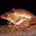 Boeseman's Snouted Tree Frog - Photo (c) togbui, all rights reserved, uploaded by togbui