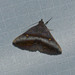 Hadennia mysalis - Photo (c) Paul, all rights reserved, uploaded by creaturesnapper