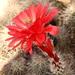 Echinocereus huitcholensis - Photo (c) Julio Alejandro Álvarez Ruiz, כל הזכויות שמורות