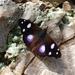 Cybdelis petronita - Photo (c) MJ Ramírez-Soria, todos los derechos reservados