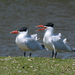 Caspian Tern - Photo (c) Chad Arment, all rights reserved