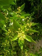 Conocarpus erectus image