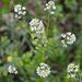 Lepidium virginicum - Photo (c) Caleb Paul, כל הזכויות שמורות