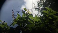 Hirtella triandra image