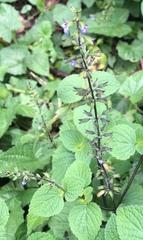 Image of Salvia tiliifolia