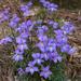 Viola pedata - Photo (c) Eric Hunt, todos los derechos reservados