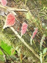 Image of Begonia segregata