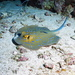Bluespotted Fantail Ray - Photo (c) João Pedro Silva, all rights reserved